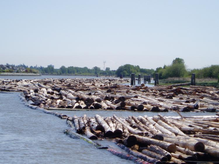 Log boom on the Fraser River. Thousands of cubic metres of stray logs are clogging marshes in the Fraser River estuary, damaging bird habitat and impacting migrating salmon. (Mitch Anderson)
