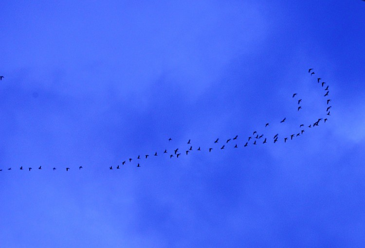 POETRY IN THE SKY: Barnacle geese after a day's feeding flying home over the Donegal sky (Angela McFadden/The Epoch Times)