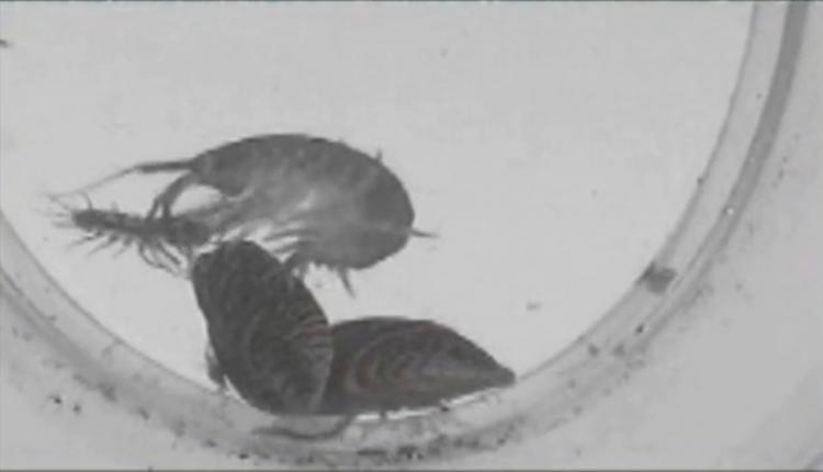 KILLER SHRIMP: A Dikerogammarus villosus freshwater shrimp preys on other invertebrates. The so-called 'killer' shrimp has recently been discovered in the UK.  (Screenshot of Youtube.com)
