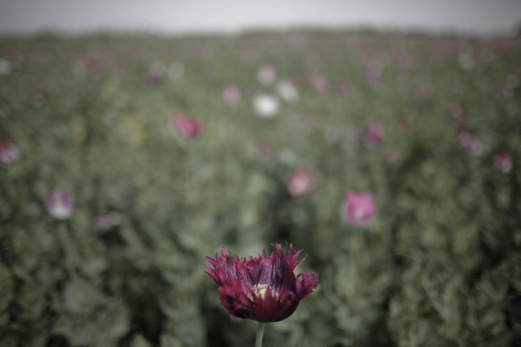 OPIUM POPPY SEIZURE: An opium poppy field in Afghanistan. Seven acres of opium poppies were discovered in Western Canada this week. (Mauricio Lima/AFP/Getty Images)