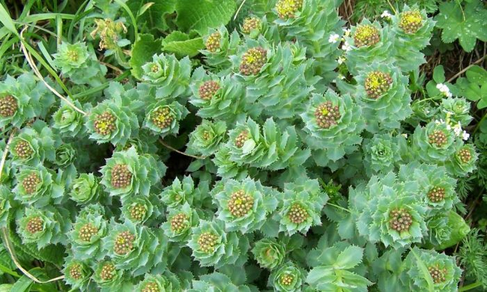 Rhodiola rosea growing in the Tatra Mountains. A prehistoric-looking plant native to cold climates at high altitudes, rhodiola has thick, short, sedum-like leaves that grow in circles around the stem, resembling a stack of crowns. It blooms with a top crown of yellow flowers. (Opioła Jerzy/Wikimedia Commons)