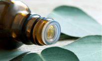 Eucalyptus Oil: Essential Oil Extraordinaire