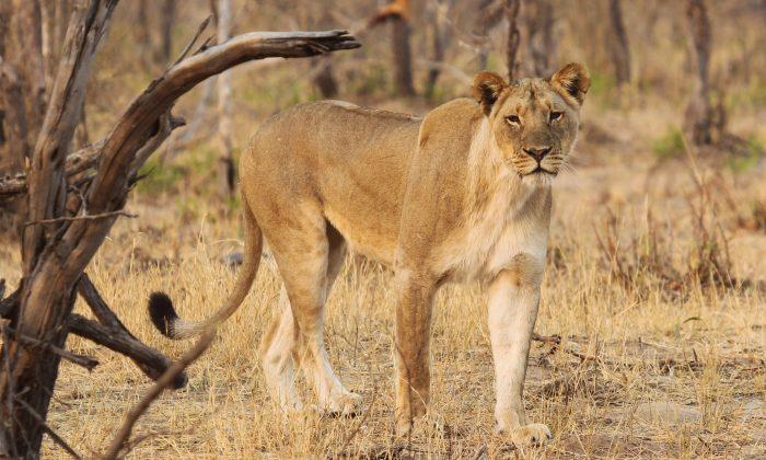 Lion in the Hwange National Park, south west of Zimbabwe's capital Harare, on Oct. 1, 2015. (AP Photo/Tsvangirayi Mukwazhi)