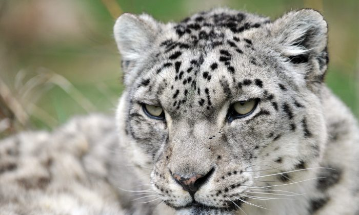 Humans And Climate Continue To Threaten Endangered Snow Leopard
