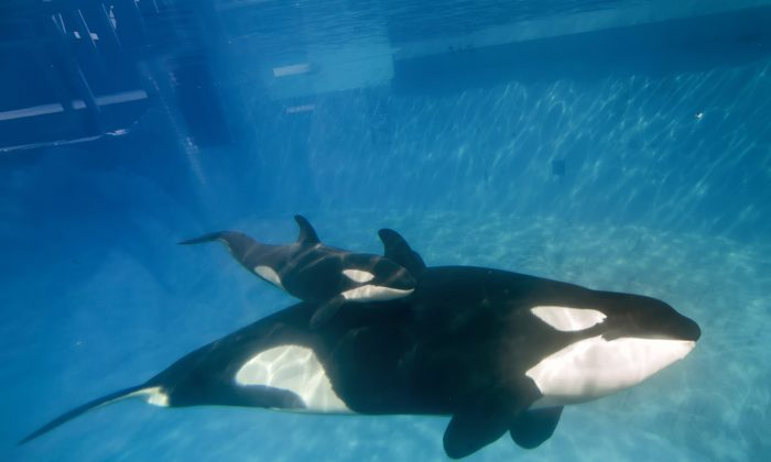 SAN DIEGO, CA - DECEMBER 02:  In this handout photo provided by SeaWorld San Diego, mom and baby killer whale swim together at SeaWorld San Diego's Shamu Stadium December 4, 2014 in San Diego, California.  Kalia, a 10-year-old killer whale, gave birth to the calf at 12:34 p.m. Tuesday, Dec. 2, under the watchful eyes of SeaWorld's zoological team. The calf is estimated to weigh between 300 and 350 pounds and measure 6 to 7 feet. The gender of the calf is not yet known. As with any killer whale birth, the mother and calf are being observed round the clock for the first few weeks.  (Photo by Mike Aguilera/SeaWorld San Diego via Getty Images)
