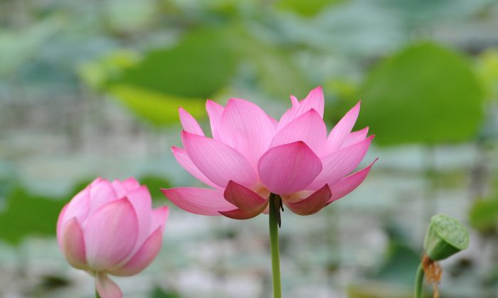 A lotus flower in full bloom. (Yoshikazu Tsuno/AFP/Getty Images)