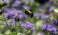 First Bee Species Declared Endangered in US: Impact on Ecosystem and Agriculture