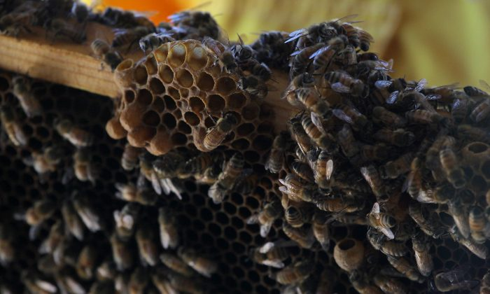 Bees swarm around honeycomb at the Bayer North American Bee Care Center in Research Triangle Park, N.C., Tuesday, Sep. 15, 2015.  (AP Photo/Ted Richardson)
