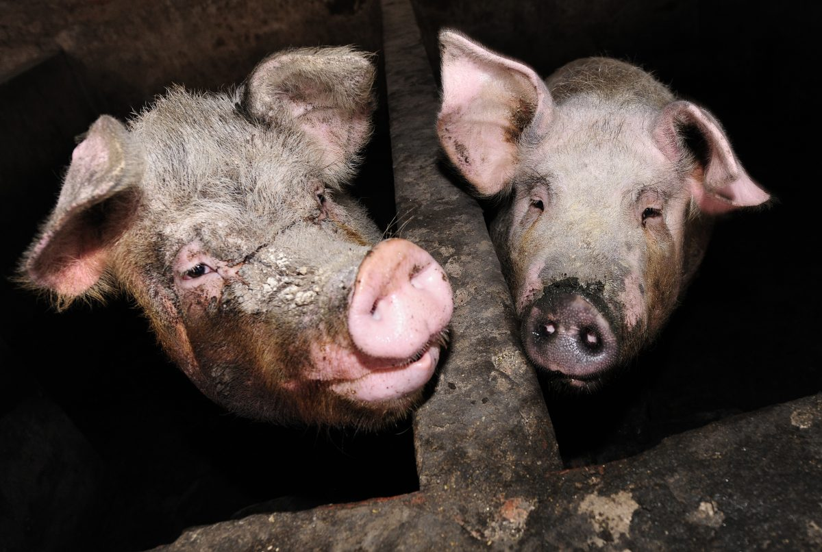 Russian Woman Reportedly 'Eaten by Pigs' After Collapsing in Pen