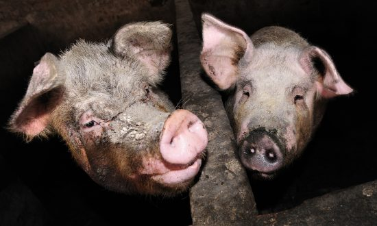 Stock photos of pigs. (Peter Parks/AFP/Getty Images)
