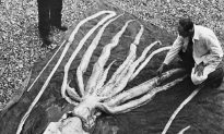 Giant Squid Washes Up in New Zealand