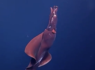 Why Footage of This 'Whiplash Squid' is So Rare (Video)