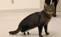 VIDEO: Cat Walks for Very First Time After Getting Titanium Prosthetic Legs