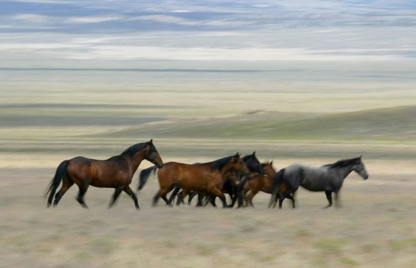A group of wild horses run through a field in Eureka, Nev., on July 7, 2005. (Justin Sullivan/Getty Images)