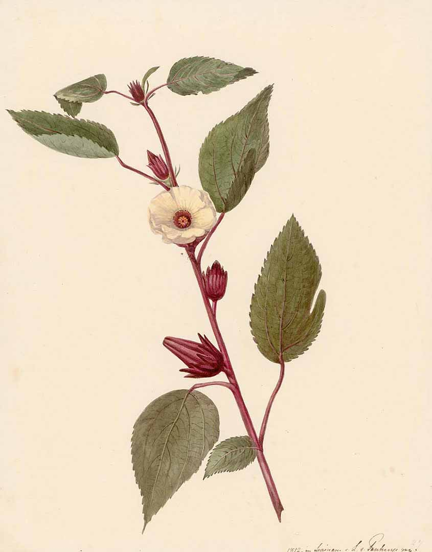 Hibiscus tea for weight loss blood pressure and inflammation hibiscus sabdariffa illustration from the watercolours of surinam 1811 1824 public domain izmirmasajfo