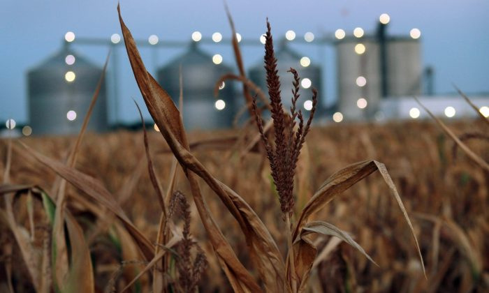 A field of dead corn sits next to the Lincolnland Agri-Energy ethanol plant in Palestine, Ill., on July 25, 2012. (Scott Olson/Getty Images)