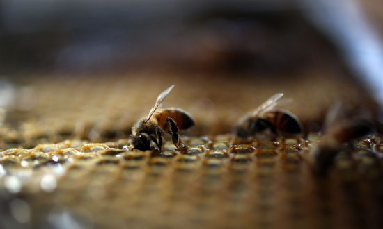 Refugee Bees Rescued and Given Help by United Nations Program