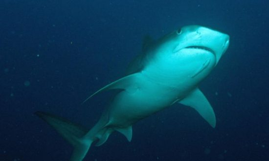 Sand Tiger Shark Nursery Found Off New York Coast