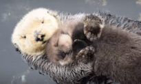 Otter Mother and Baby Embrace at Monterey Bay Aquarium