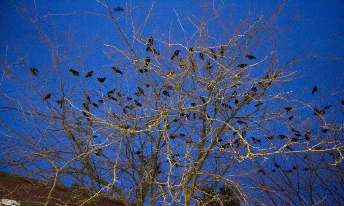 Crows in a tree on James Street in Middletown on Jan. 14, 2016. (Holly Kellum/Epoch Times)