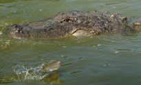 Surfer Loses Lower Leg After Crocodile Attack—Humans Had Been Likely Feeding It