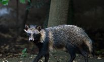 Sick Raccoons Sighted in Florida—Pet Owners Should Beware