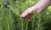 Rosemary for Memory and Circulation