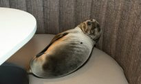 Video: Sea Lion Pup Found Sleeping in San Diego Restaurant