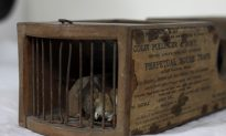 Mouse Killed by 150-Year-Old Trap in English Museum Display