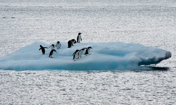 Penguins on an ice block in Antarctica on March 10, 2014. Tens of thousands of Adélie penguins are believed to have died after a giant iceberg left them unable to find food. (VANDERLEI ALMEIDA/AFP/Getty Images)
