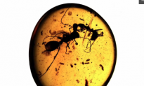 Two Ants Fighting 100 Million Years Ago Preserved in Amber (Video)