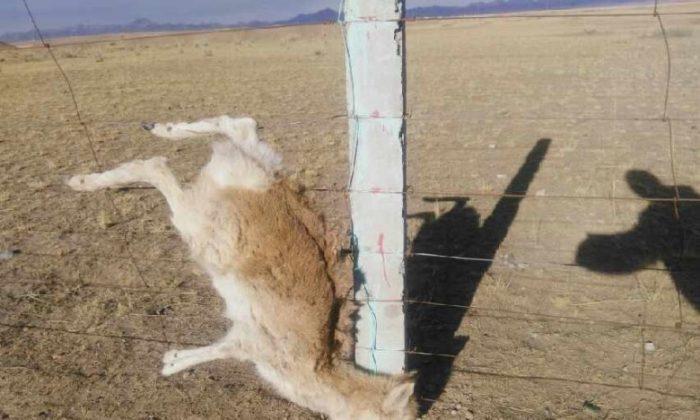 An image of Przewalski's gazelle trapped in barbed wire. (Oriental Net)