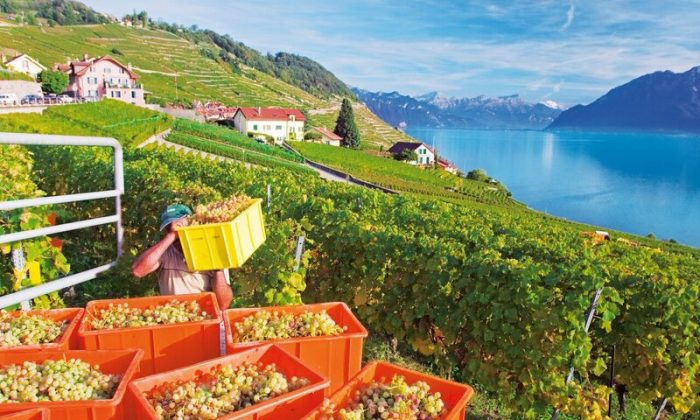 Grape harvest in Calamin / Epesses in the Lavaux region, part of the UNESCO World Heritage, on Lake Geneva. (Hans-Peter Siffert/swiss-image.ch)