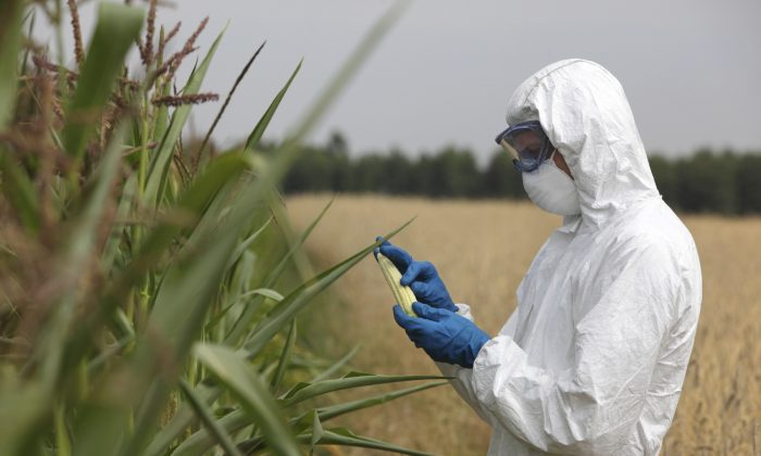 Technician examining corn in the field. (endopack/iStock)