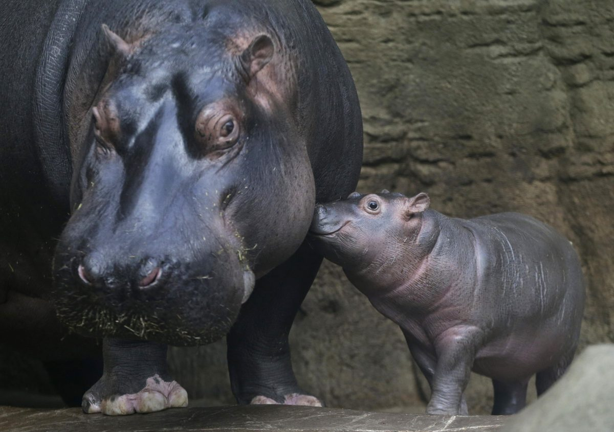 Hippo bite kills Chinese tourist in Kenya