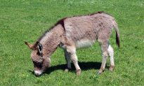 20 Miniature Donkeys Offered for Adoption at Arizona Animal Rescue Prompted Avalanche of Requests