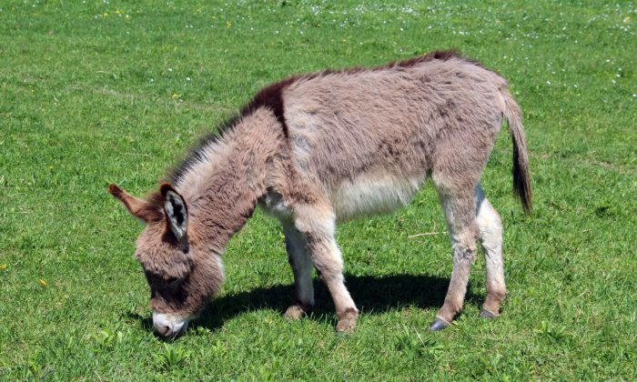 Miniature donkey. (Public Domain)