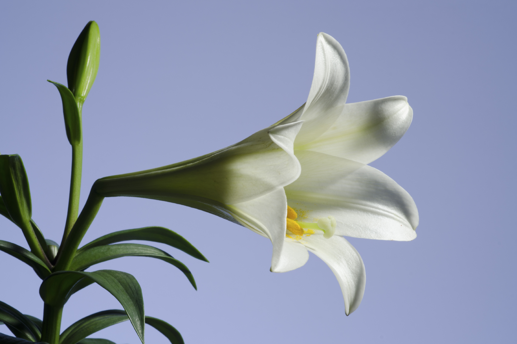 Easter lily a food and medicine herbs infertility menstrual pain izmirmasajfo