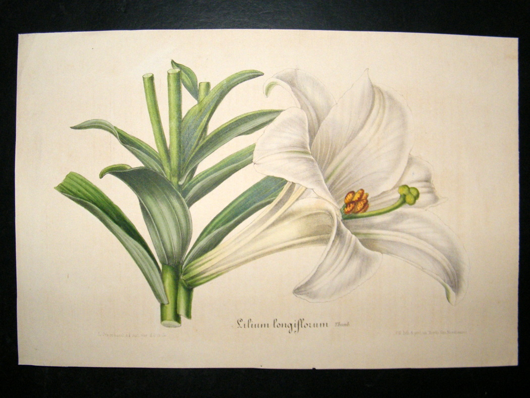 Easter lily a food and medicine herbs infertility menstrual pain easter lily lithograph published 18451888 by louis van houtte charles lemaire public domain courtesy of albion prints izmirmasajfo