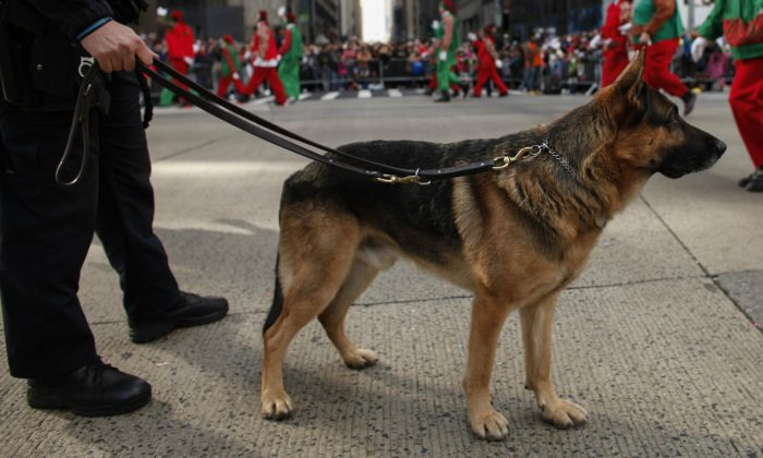 A police dog on November 26, 2015 in New York City. (Photo by Kena Betancur/Getty Images)