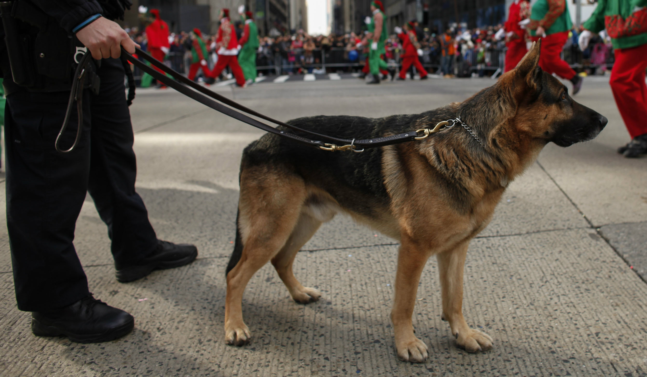 Police Dog With Cancer Joins Clinical Trial