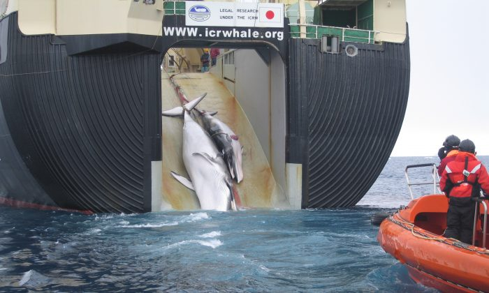 An adult and sub-adult Minke whale are dragged aboard a Japanese whaling vessel in 2008. The photo was taken by Australian customs agents, under a surveillance effort to collect evidence of indiscriminate harvesting. (Australian Customs and Border Protection Service)