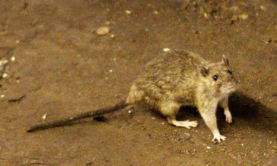 Mayor de Blasio Makes Announcement on New Rat Abatement Methods