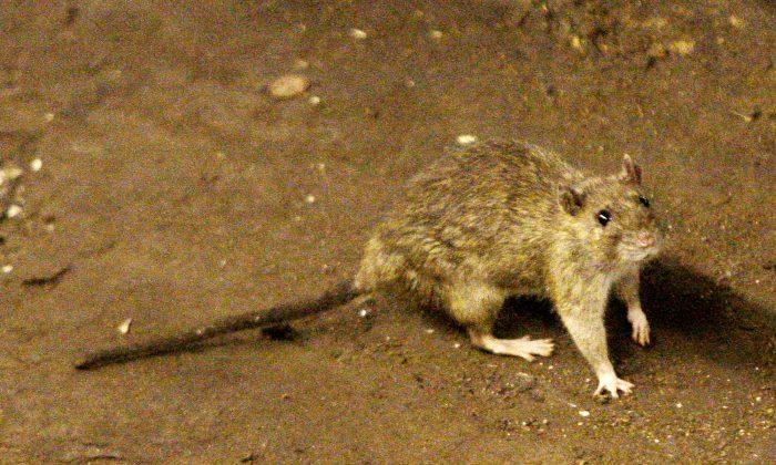 Instagram Video of Rat Climbing Up Sleeping NYC Subway Rider Sparks ...