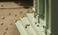 Thousands of Bees Attack People at Arizona Mosque