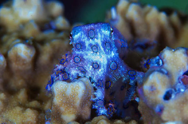 A tiny octopus that can kill you in minutes is now a for Octopus fish tank