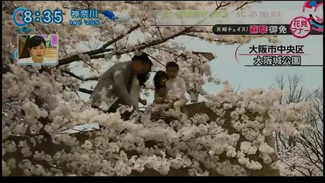 Chinese tourists climb on top of a wall to have their pictures taken with cherry blossoms. (Hexun.com)