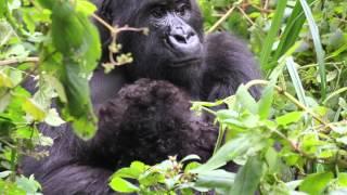 Baby Gorilla Born in Prague Zoo: Nobody Knew Mother Was Pregnant