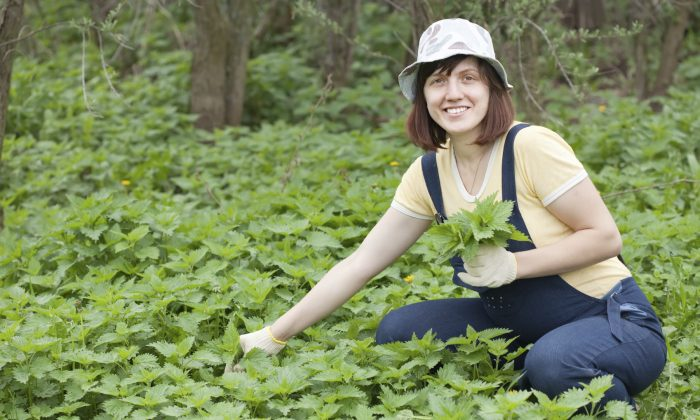When picking nettles, be sure to bring some gloves. (JackF/iStock)