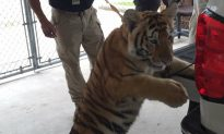 Tiger Found Wandering Around in Conroe, Texas, as Police Search for Owner
